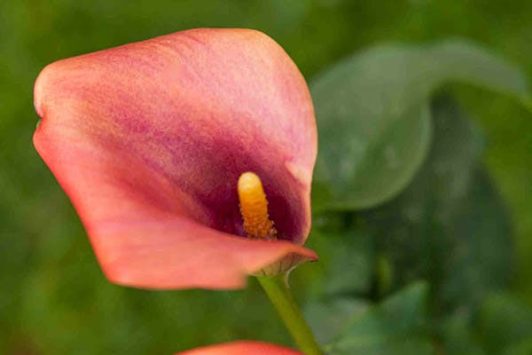 Wild Calla Poisoning in Dogs - Symptoms, Causes, Diagnosis, Treatment, Recovery, Management, Cost