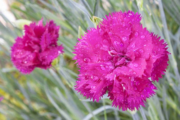 Wild Carnation Poisoning in Dogs - Symptoms, Causes, Diagnosis, Treatment, Recovery, Management, Cost