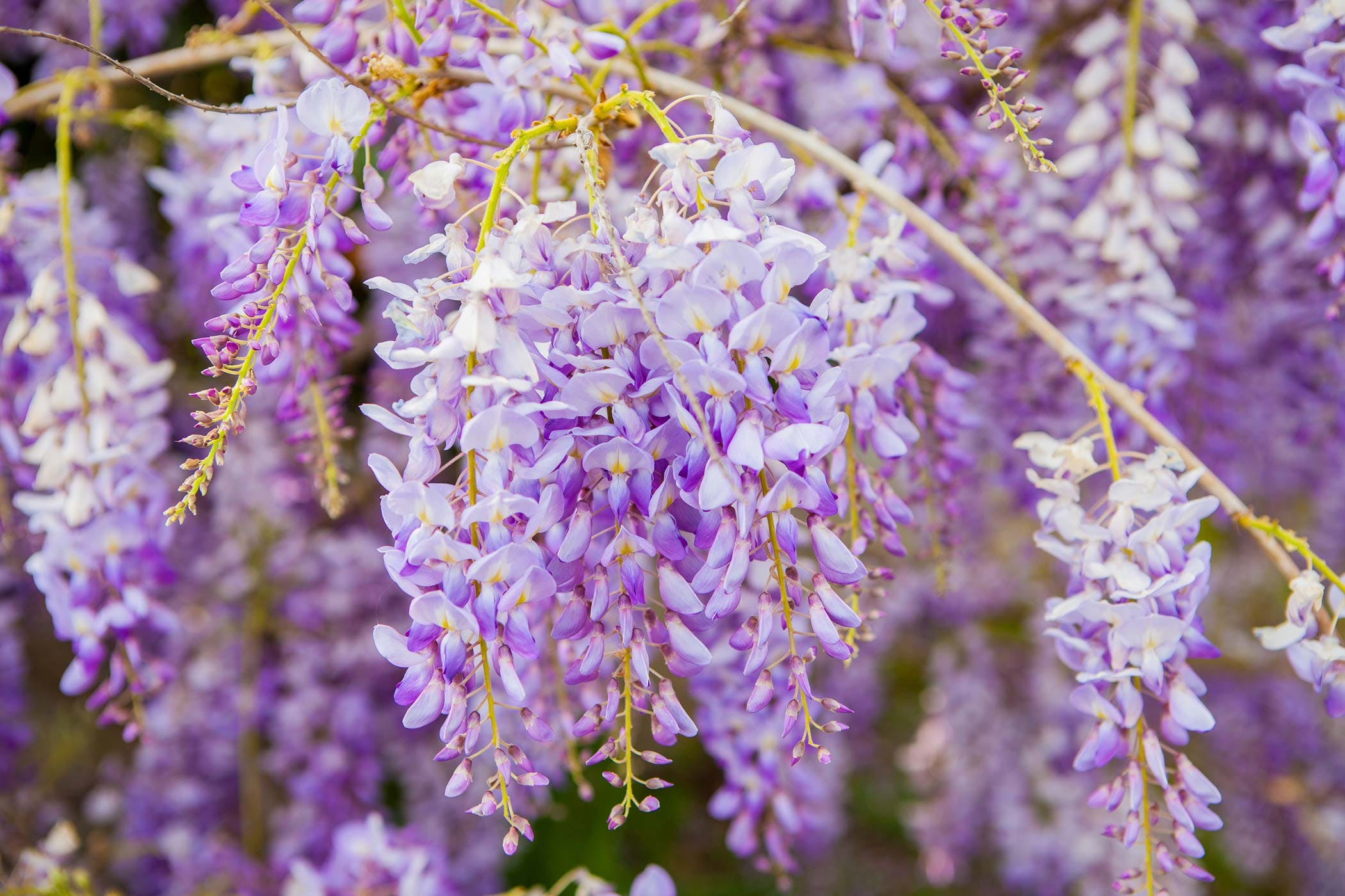 Wisteria poisoning in dogs symptoms causes diagnosis for The wisteria