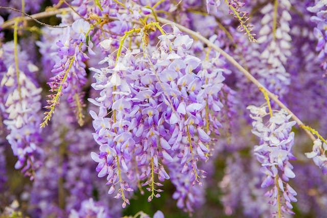 Wisteria Poisoning in Dogs - Symptoms, Causes, Diagnosis, Treatment, Recovery, Management, Cost