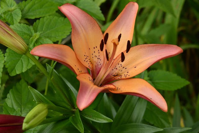 Wood Lily Poisoning in Dogs - Symptoms, Causes, Diagnosis, Treatment, Recovery, Management, Cost