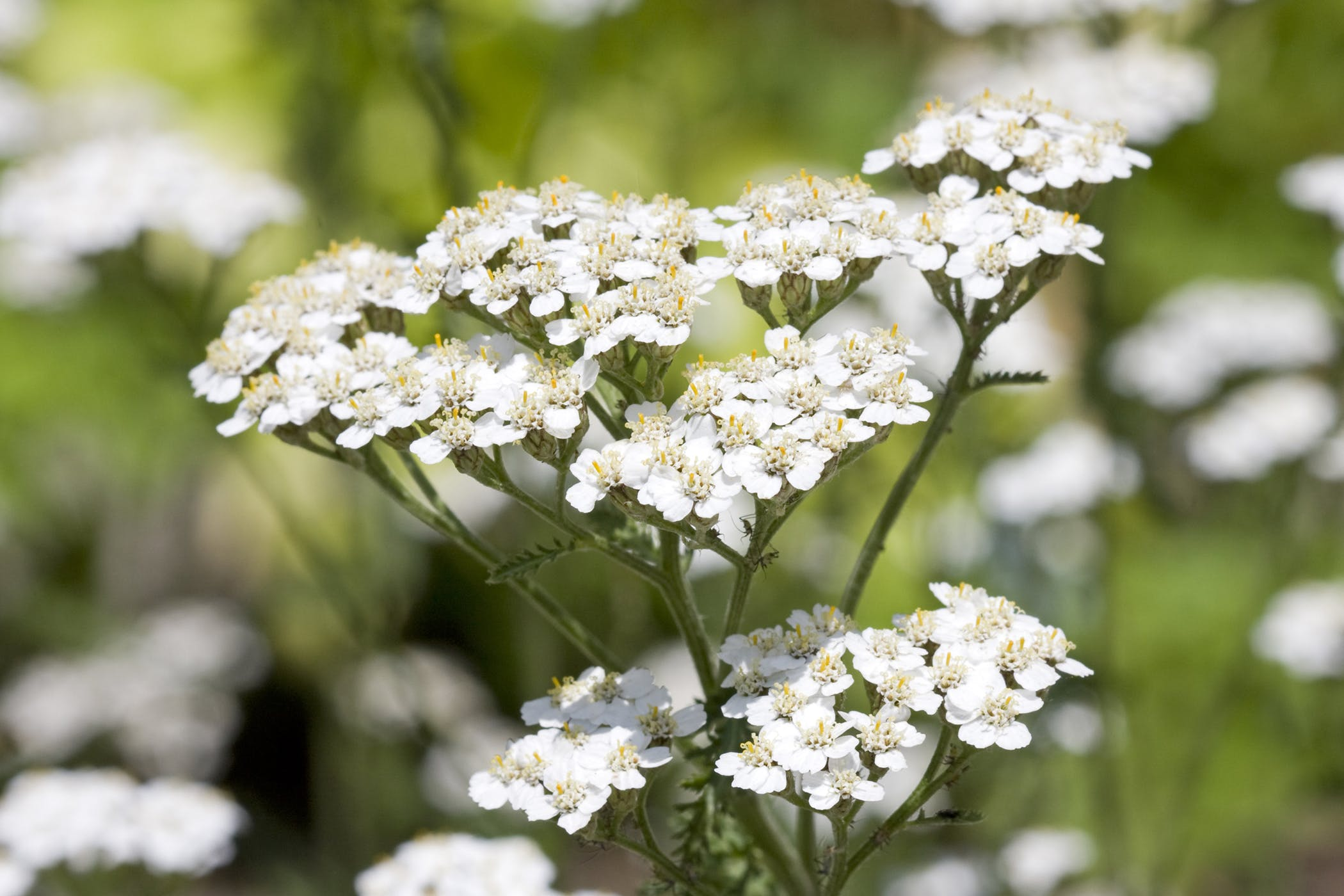 Yarrow Poisoning in Dogs - Symptoms, Causes, Diagnosis, Treatment ...