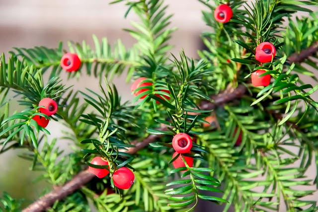 Yew Poisoning in Dogs - Symptoms, Causes, Diagnosis, Treatment, Recovery, Management, Cost
