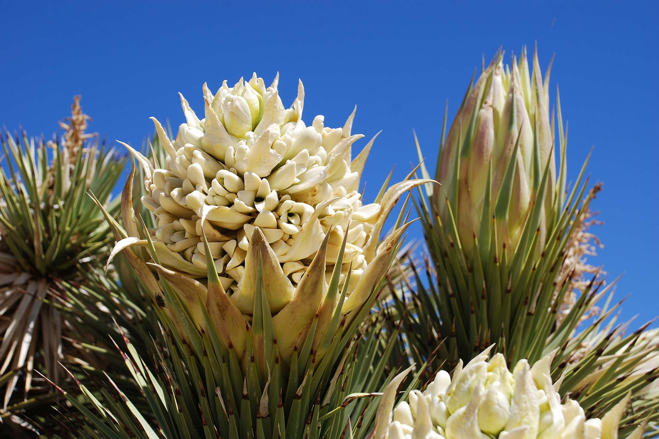 Yucca Poisoning In Dogs Symptoms Causes Diagnosis Treatment