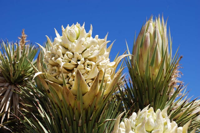 Yucca Poisoning in Dogs - Symptoms, Causes, Diagnosis, Treatment, Recovery, Management, Cost