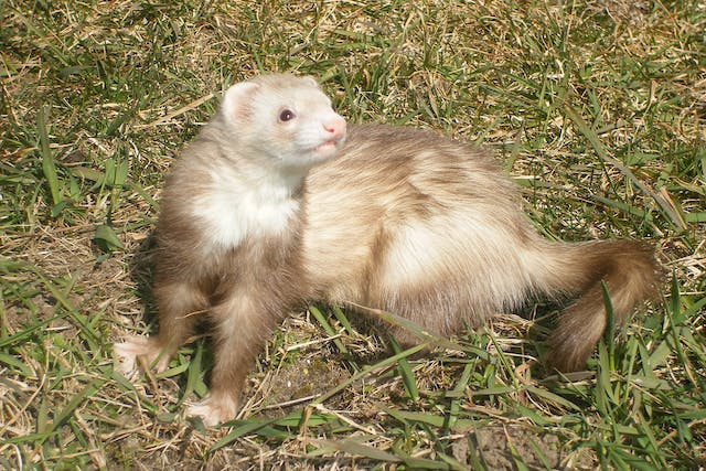 Abnormally Large Kidneys In Ferrets - Symptoms, Causes, Diagnosis, Treatment, Recovery, Management, Cost
