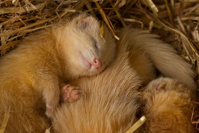 Accumulation of Fluid in the Abdomen in Ferrets - Symptoms, Causes, Diagnosis, Treatment, Recovery, Management, Cost