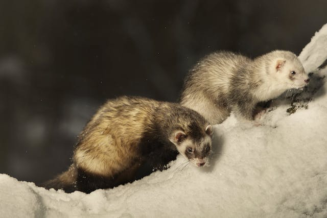 Adrenal Disease in Ferrets - Symptoms, Causes, Diagnosis, Treatment, Recovery, Management, Cost