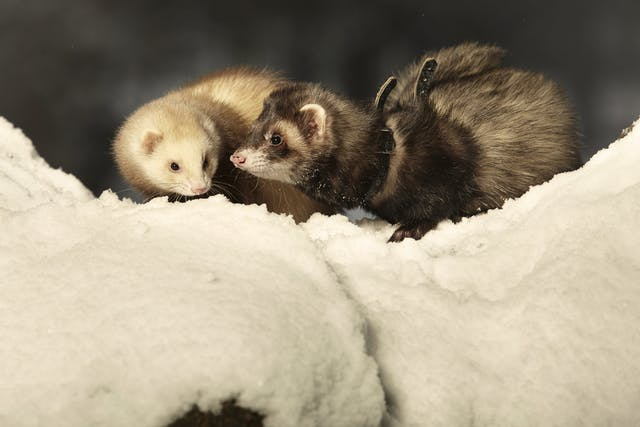 Aspiration Pneumonia in Ferrets - Symptoms, Causes, Diagnosis, Treatment, Recovery, Management, Cost