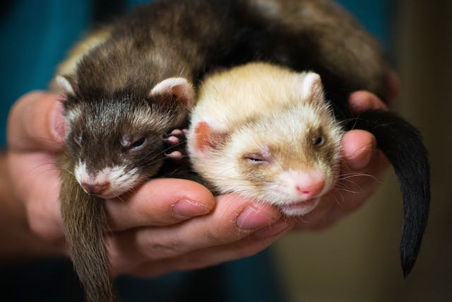 Bacterial Diarrhea in Ferrets - Symptoms, Causes, Diagnosis, Treatment, Recovery, Management, Cost