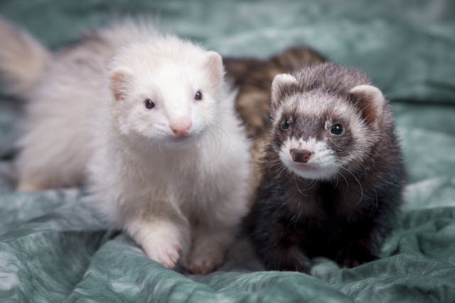 Bacterial Pneumonia in Ferrets - Symptoms, Causes, Diagnosis, Treatment, Recovery, Management, Cost