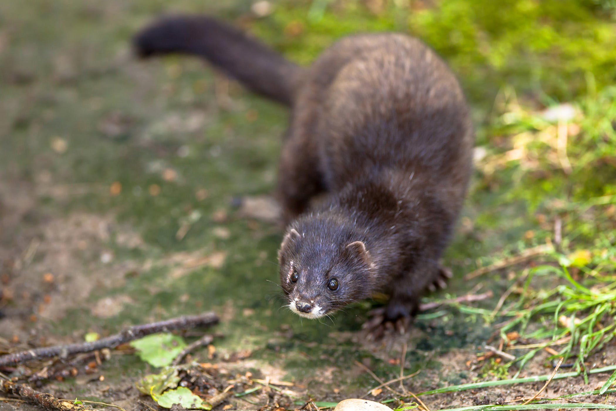 Black Tarry Feces In Ferrets Symptoms Causes Diagnosis