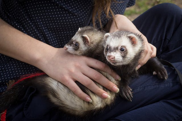 Bleeding Under the Skin in Ferrets - Symptoms, Causes, Diagnosis, Treatment, Recovery, Management, Cost