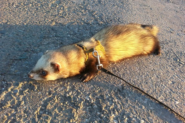 Bot Fly Infestation in Ferrets - Symptoms, Causes, Diagnosis, Treatment, Recovery, Management, Cost