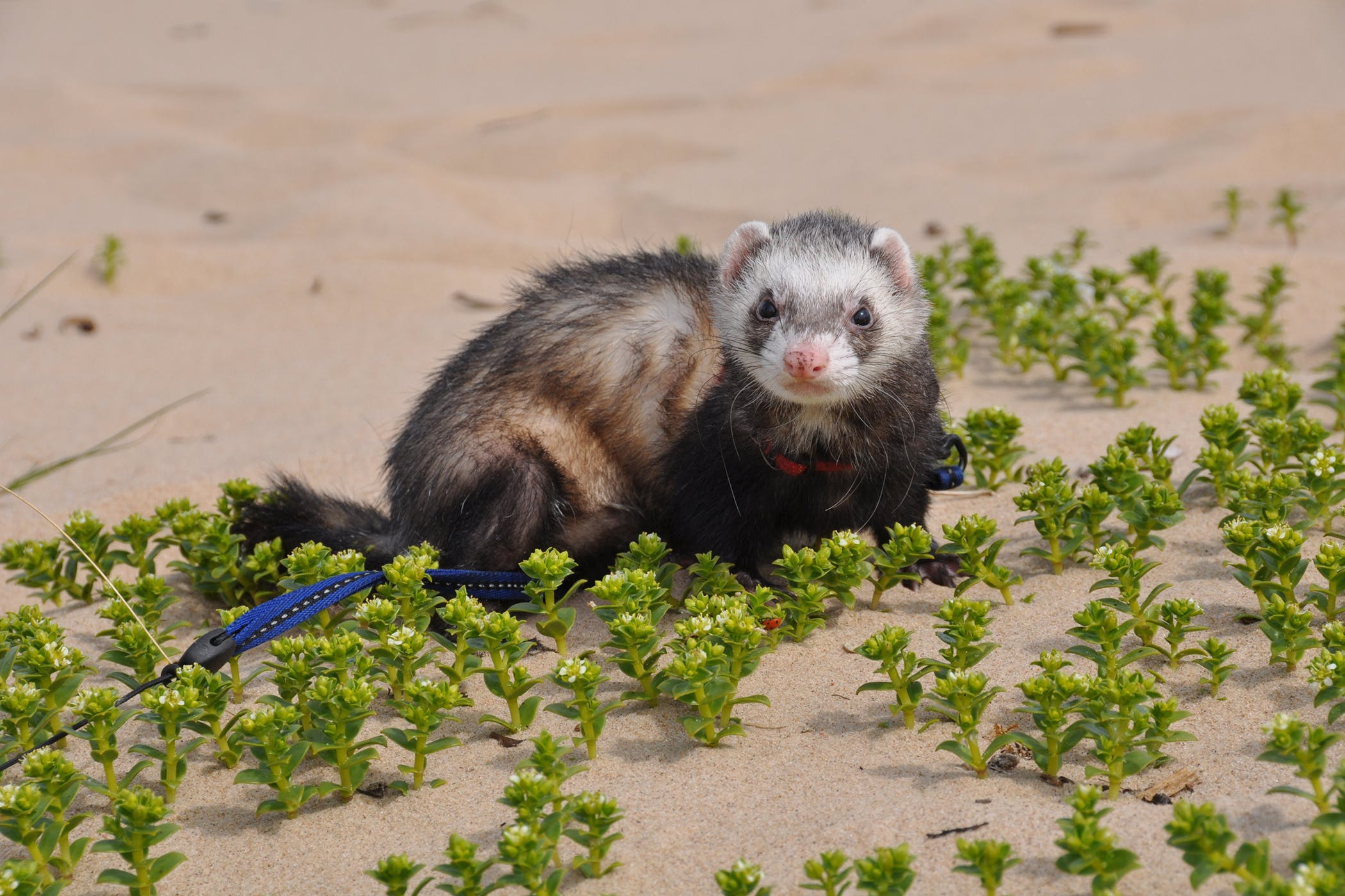 Watch How to Spread the Ferret Fascination on wikiHow video