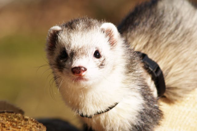 Coccidiosis in Ferrets - Symptoms, Causes, Diagnosis, Treatment, Recovery, Management, Cost