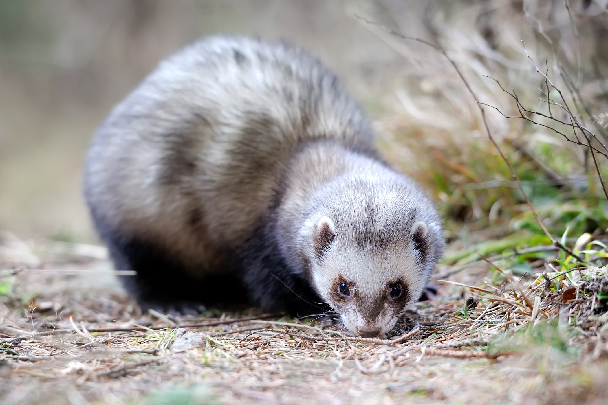 How to Diagnose Heart Disease in Ferrets