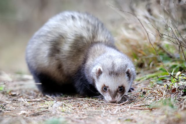 Congestive Heart Failure in Ferrets - Symptoms, Causes, Diagnosis, Treatment, Recovery, Management, Cost