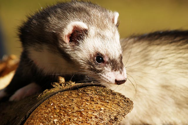 Constipation and Bloody Stool in Ferrets - Symptoms, Causes, Diagnosis, Treatment, Recovery, Management, Cost