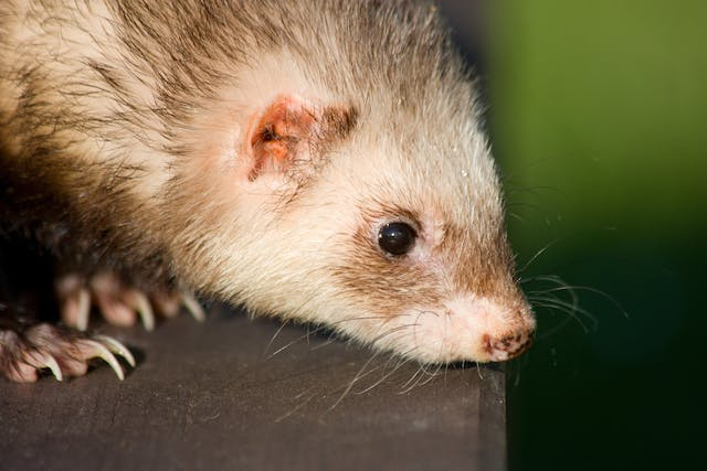 Cough in Ferrets - Symptoms, Causes, Diagnosis, Treatment, Recovery, Management, Cost