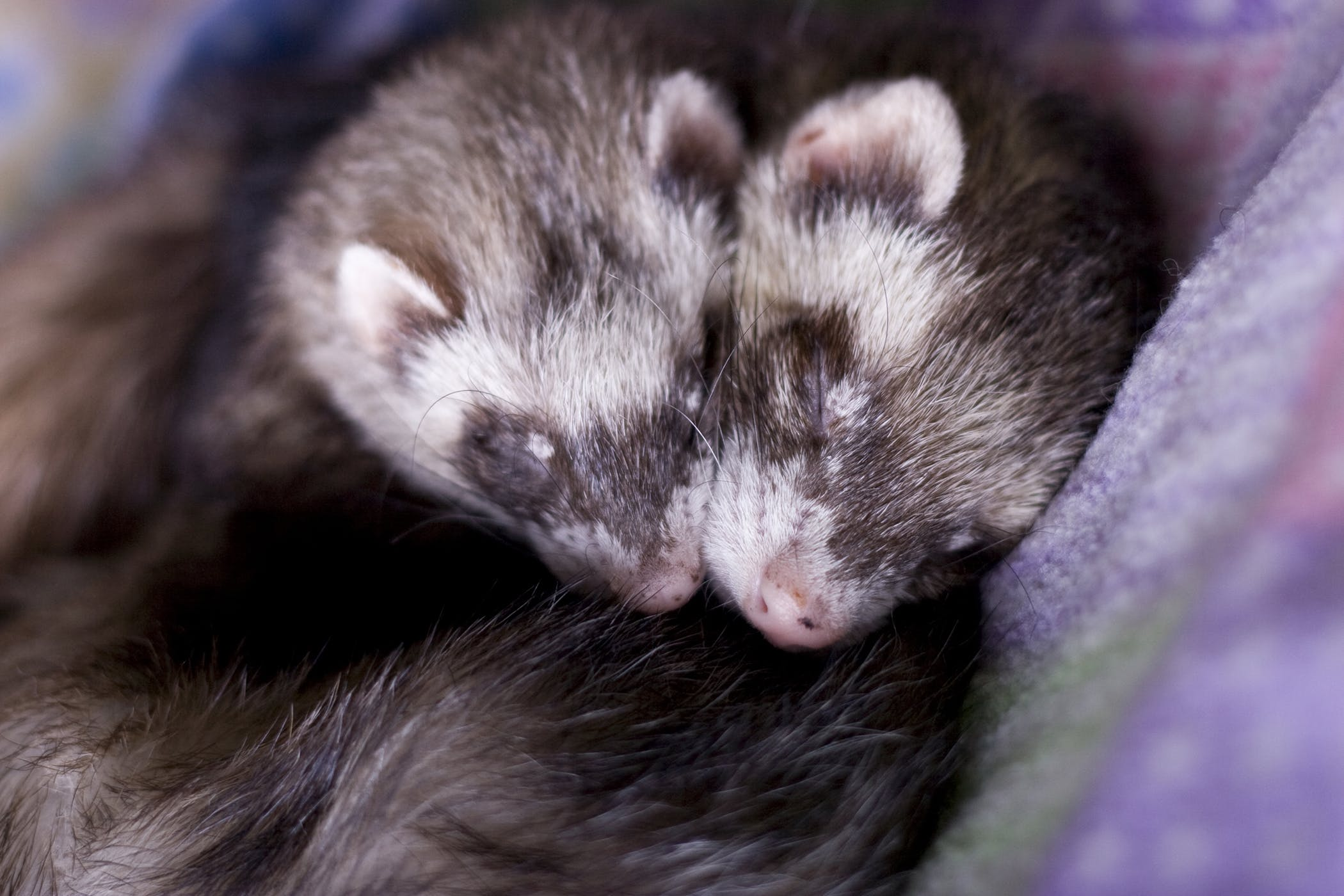 Cutaneous Mast Cell Tumors in Ferrets - Symptoms, Causes