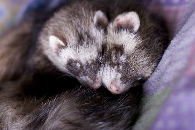 Cutaneous Mast Cell Tumors in Ferrets - Symptoms, Causes, Diagnosis, Treatment, Recovery, Management, Cost