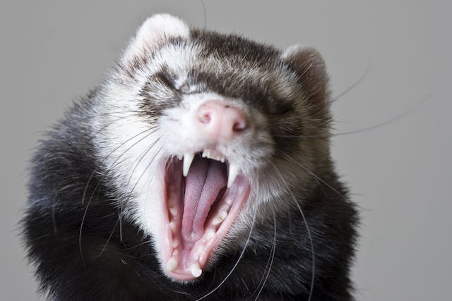 Dental Disease in Ferrets - Symptoms, Causes, Diagnosis, Treatment, Recovery, Management, Cost