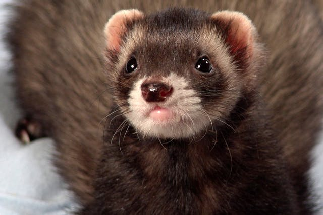 Dermatophytosis in Ferrets - Symptoms, Causes, Diagnosis, Treatment, Recovery, Management, Cost