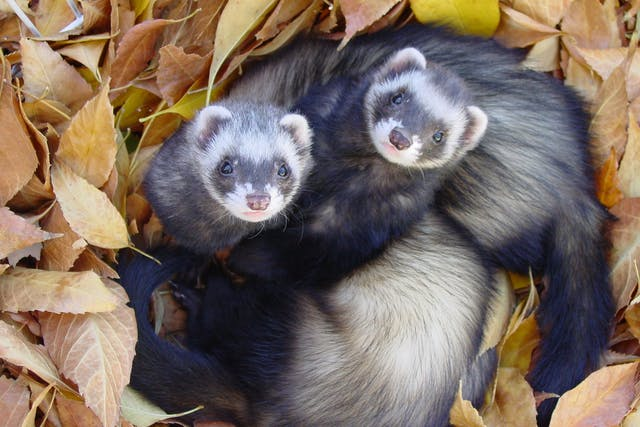 Diarrhea in Ferrets - Symptoms, Causes, Diagnosis, Treatment, Recovery, Management, Cost