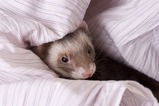 Difficult, Painful, and Frequent Urination in Ferrets - Symptoms, Causes, Diagnosis, Treatment, Recovery, Management, Cost