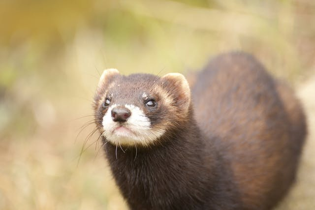 Dilated Cardiomyopathy in Ferrets - Symptoms, Causes, Diagnosis, Treatment, Recovery, Management, Cost