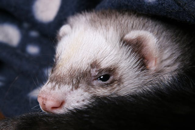 Disseminated Idiopathic Myositis (Polymyositis) in Ferrets - Symptoms, Causes, Diagnosis, Treatment, Recovery, Management, Cost