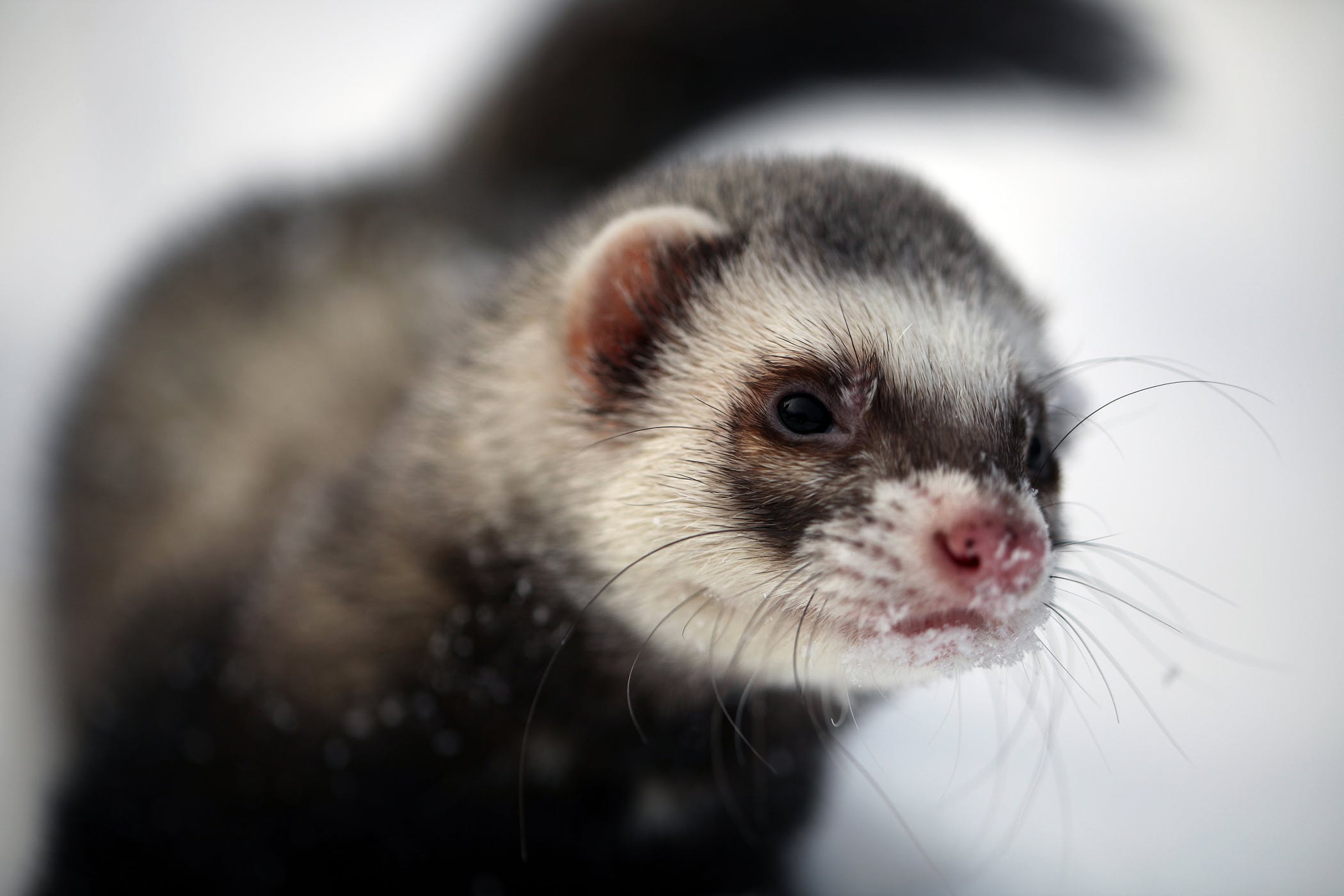 How to Spread the Ferret Fascination on wikiHow forecast