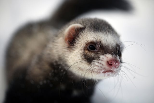 Ear Mites in Ferrets - Symptoms, Causes, Diagnosis, Treatment, Recovery, Management, Cost