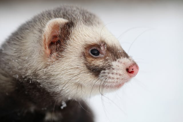 Enlarged Liver in Ferrets - Symptoms, Causes, Diagnosis, Treatment, Recovery, Management, Cost