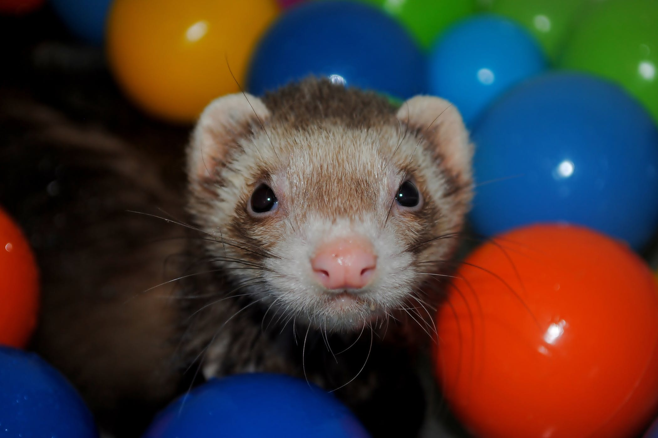 Enlarged Spleen in Ferrets - Symptoms, Causes, Diagnosis