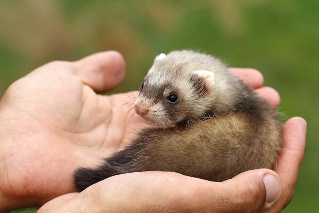 Epizootic Catarrhal Enteritis in Ferrets in Ferrets - Symptoms, Causes, Diagnosis, Treatment, Recovery, Management, Cost