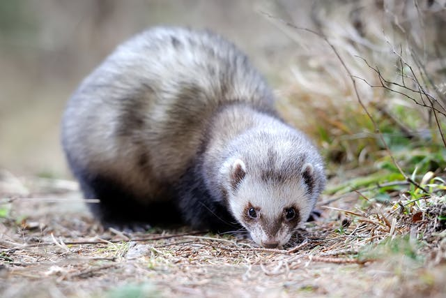 Excessive Weight in Ferrets - Symptoms, Causes, Diagnosis, Treatment, Recovery, Management, Cost