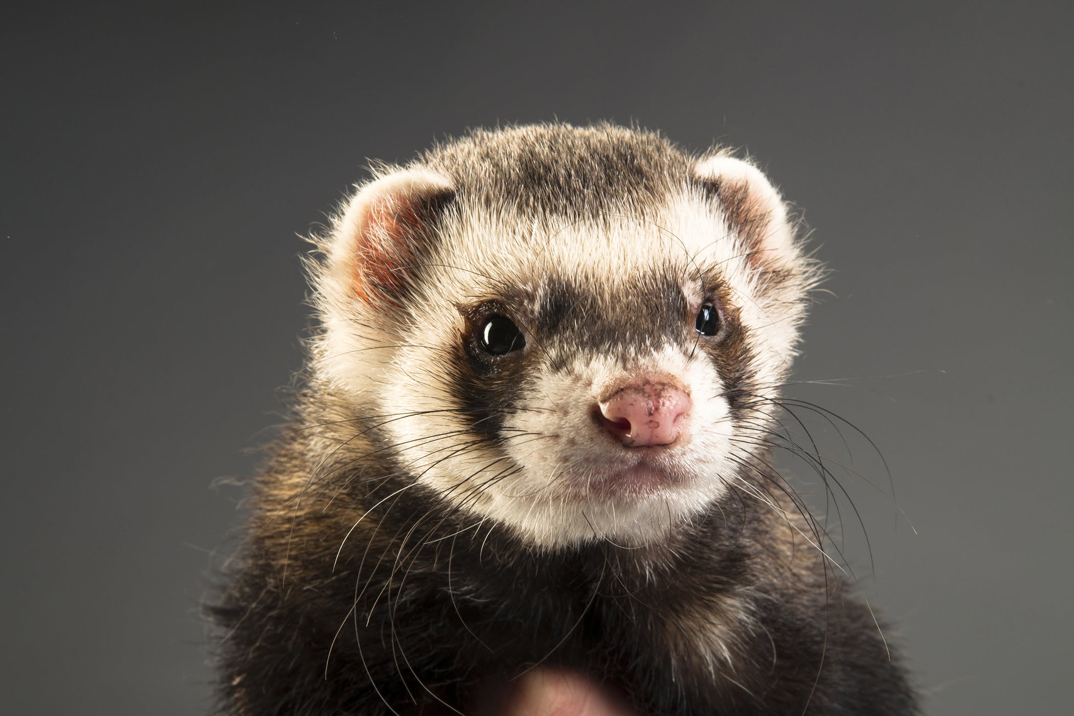 Fleas In Ferrets Symptoms Causes Diagnosis Treatment