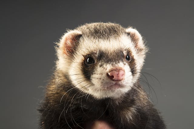 Fleas in Ferrets - Symptoms, Causes, Diagnosis, Treatment, Recovery, Management, Cost
