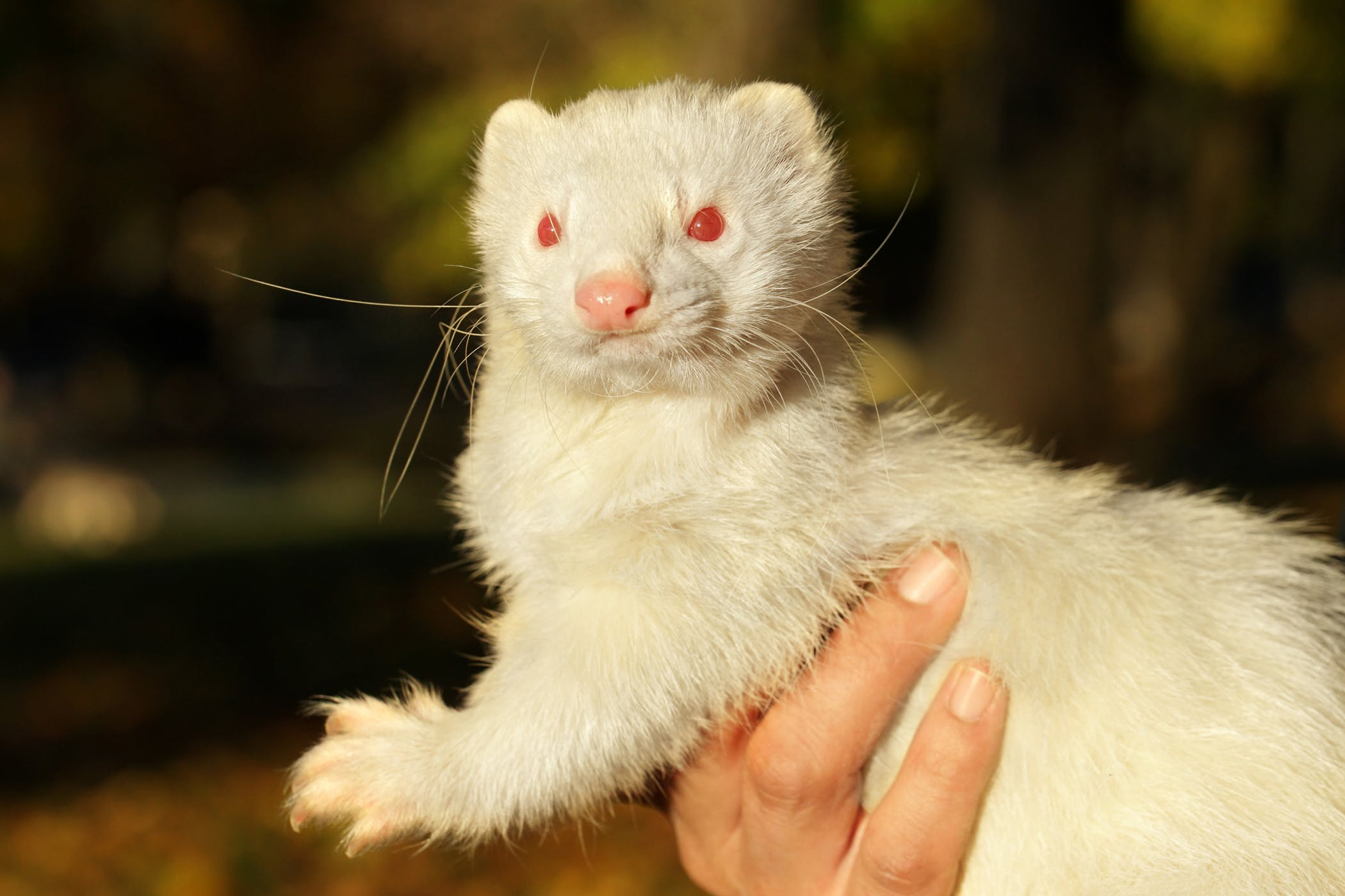 Foreign Object in the Stomach in Ferrets