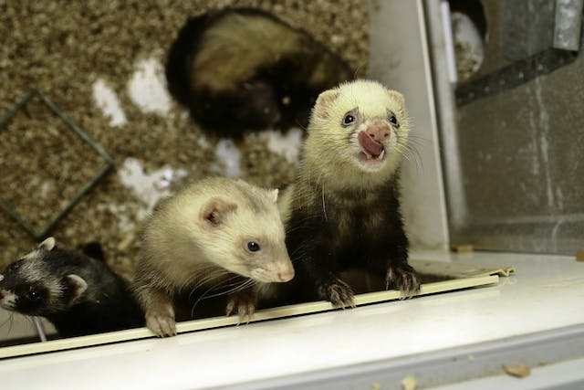 Fungal Pneumonia in Ferrets - Symptoms, Causes, Diagnosis, Treatment, Recovery, Management, Cost