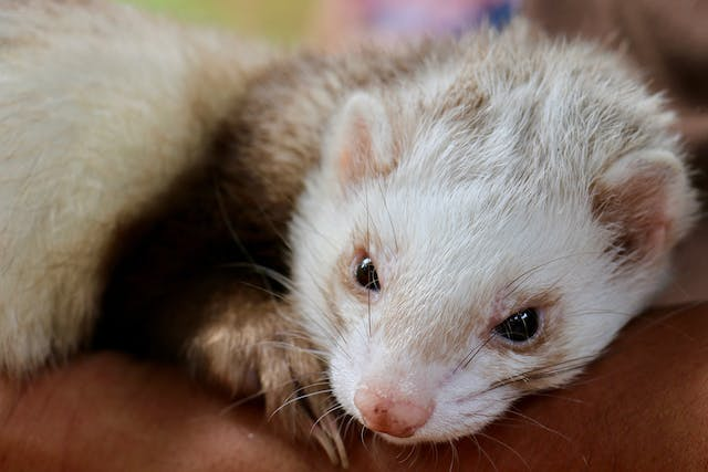 Gingivitis and Periodontal Disease in Ferrets - Symptoms, Causes, Diagnosis, Treatment, Recovery, Management, Cost
