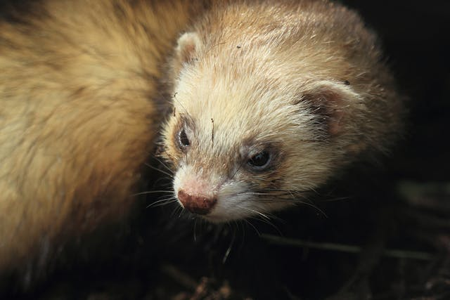 Hair Loss in Ferrets - Symptoms, Causes, Diagnosis, Treatment, Recovery, Management, Cost