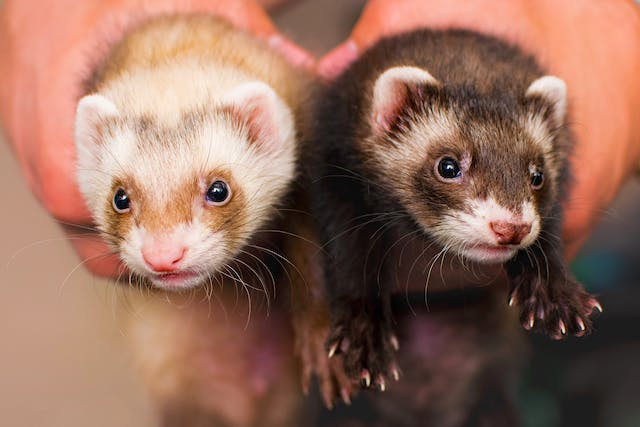 Hairballs in Ferrets - Symptoms, Causes, Diagnosis, Treatment, Recovery, Management, Cost