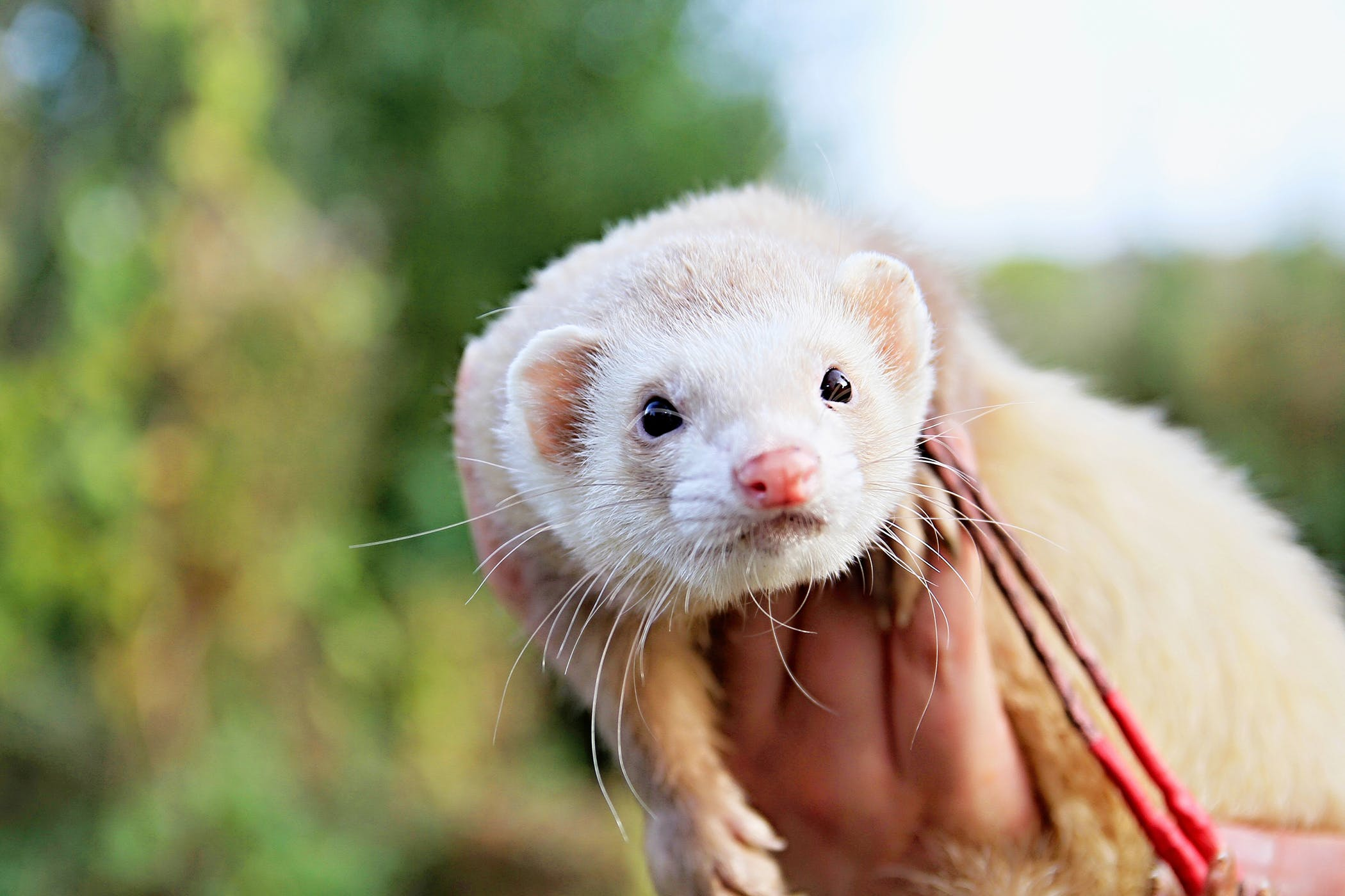 Heartworm Disease in Ferrets