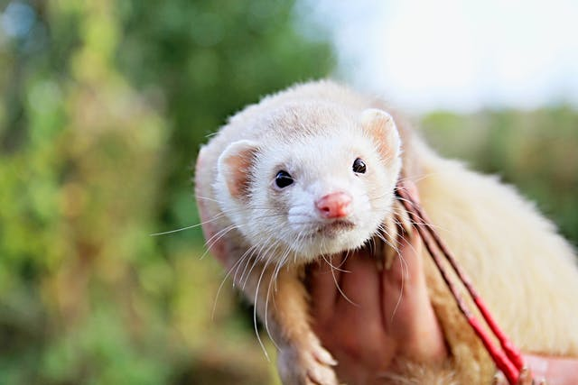 Heartworm Disease in Ferrets - Symptoms, Causes, Diagnosis, Treatment, Recovery, Management, Cost