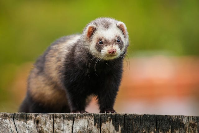 Hind Leg Weakness in Ferrets - Symptoms, Causes, Diagnosis, Treatment, Recovery, Management, Cost