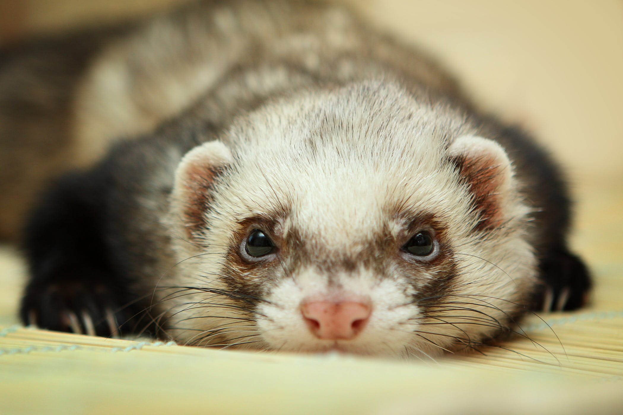 Hormone Overproduction in Ferrets - Symptoms, Causes ...
