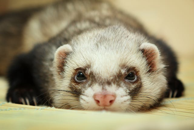 Hormone Overproduction in Ferrets - Symptoms, Causes, Diagnosis, Treatment, Recovery, Management, Cost